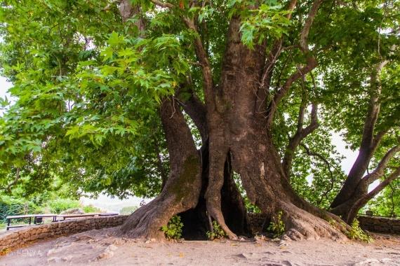 Жителей призвали поддержать российское дерево на европейском конкурсе